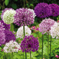 Big Impact Allium Mixture