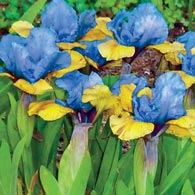 Blueberry Tart Dwarf Iris