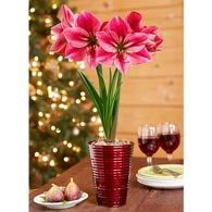Gervase Amaryllis Single