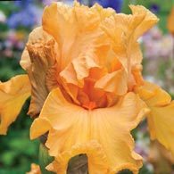 Orange King Bearded Iris