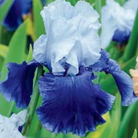 October Sky Reblooming Bearded Iris