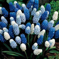 2 Months of Grape Hyacinths