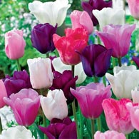 Monet's Garden Tulip Mixture</sup>