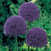 Persian Blue Allium