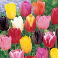 Cream-of-the-Crop Tulip Mixture Super Sak<sup>&reg;</sup>
