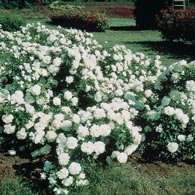 White Meidiland<sup>&reg;</sup> Groundcover Rose