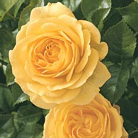 Floribunda_Rose_Julia_Child