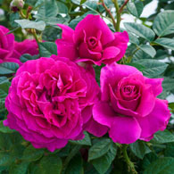 Pretty Lady Rose<sup>&trade;</sup> Downton Abbey<sup>&reg;</sup> Hybrid Tea Rose