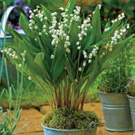 Giant Lily-of-the-Valley