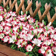 Sugar Baby Carpet Border Lily<sup>&trade;</sup>