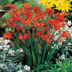 Breck's Bulbs CA http://www.brecksbulbs.ca/product/Fire-King-Crocosmia/