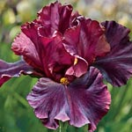 Raptor Red Tall Bearded Iris