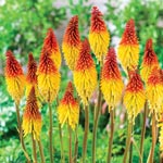 Flaming Torch Red Hot Poker