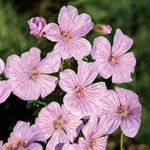 Pink Pouffe Everblooming Hardy Geranium