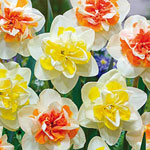Double Daffodil Duet