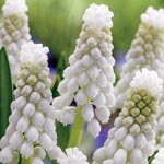 Siberian Tiger Grape Hyacinth