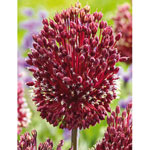 Red Mohican Allium