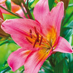 Toronto Asiatic Lily