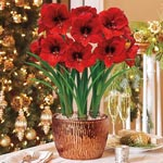 Miracle Amaryllis in Bronze Cachepot