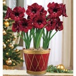 Colossal Benfica Amaryllis
