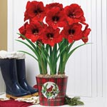 Classic Plaid Cardinals Miracle Amaryllis
