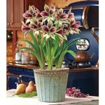 Papilio Amaryllis in Acid Wash Pot