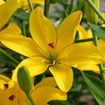 Yellow Cocotte Lily