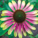 Caribbean Green Coneflower