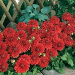 Red Carpet Border Dahlia<sup>&trade;</sup>