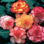 Picotee Begonia Mixture
