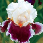 Crimson Cloud Tall Bearded Iris