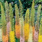 Foxtail Lily Mixture