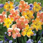 Daffodil Rainbow Of Colors