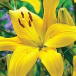 Yellow County Asiatic Lily