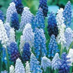 Grape Hyacinth Mixture