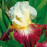 Color Strokes Bearded Iris