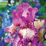 Rock Star Bearded Iris