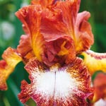 Spice Lord Bearded Iris
