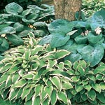 Hosta Mixture Super Sak<sup>&reg;</sup>