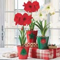 Christmas Traditions Amaryllis Trio