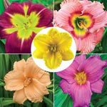 Vibrant Daylily Collection