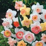 Hybridizer's Pink Daffodil Mixture