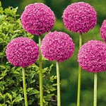 Twinkling Stars Allium