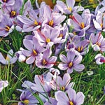 Saffron Fall Blooming Crocus