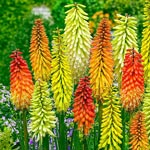 Red Hot Poker Mixture