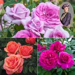 Downton Abbey Rose Collection