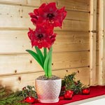 Miracle Amaryllis in Cream Ceramic Pot