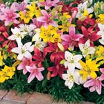 Carpet Border Lily<sup>&trade;</sup> Mixture