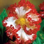 Crispa Marginata Begonia White-Red