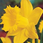 Breck's<sup>&reg</sup> Colossal Daffodil